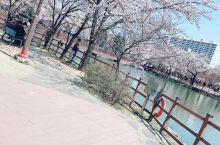 韩国樱花盛开