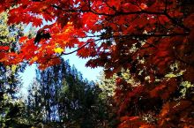 #旅行学英语# 美国西部,一棵枫树maple的N种姿态……