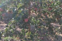 哦苹果树挺好的