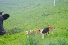 来到内蒙古后第二个打卡的草原——哈达门高原牧场。车辆可以开进去,全程自驾参观。