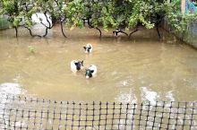 小猪游泳队