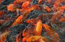 福鼎桐江溪(当地人把江叫溪)江里有锦鲤,糠鱼罗非鱼,白刀…山坑蟹,乌龟!其中锦鲤为放生的!以至于锦鲤