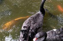 昆明翠湖公园的鱼池里鱼好大呀!还有少见的黑天鹅