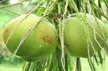 """很多朋友到海南旅游总喜欢问:""""海南到处是椰子树,那么丰硕的果,不会掉下来砸到吗?""""       哈哈"""