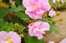 太湖边的西京湾芙蓉花已开,还有粉黛草,黄金菊。