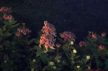 夜色中赏菊