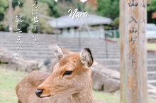 奈良一日游 | 小鹿篇  奈良一日游,赶时间的也可以半日游,直接去若草山山顶看小鹿。山上小鹿比山下公