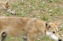 乌拉盖草原电影狼图腾拍摄取景地,兵团小镇可以住宿,夏天去那边住上几天真的不错! 狼图腾影视基地·东乌