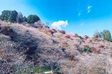 樱花并不是春天的专属,秋风起时,樱花和红叶也很配噢~ 在日本中部的丰田市除了有丰田汽车的总部之外,在