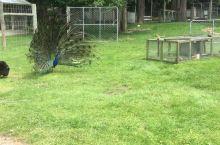 在新西兰南岛的音佛卡吉尔的动物园正好看到了孔雀开屏。