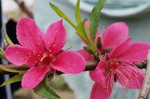 《来自丹棱的诱惑:杜鹃花已经盛开了……》  我是孤独浪子,希望我的拍拍让您有所收获。 漫游神州31载