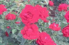 云南的玫瑰花产业