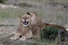 相亲相爱-狮子