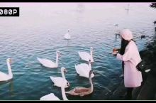 维也纳多瑙河边戏天鹅