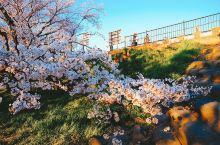 伊势赏樱热点,人少花多,70%满开度就有这么美