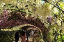 福冈县北九州市八幡的河内藤园是1977年开园,1000坪的藤架,种植22种,150余株紫藤树,为日本
