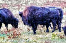 在加拿大班芙小镇附近的国家公园体会到大自然风光,动物和人的和谐交流,黄刀镇拍极光更有趣味