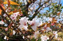 鹿儿岛之樱岛,樱花季。