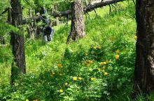 喀纳斯盛开的金莲花,金黄灿烂瓣若莲花!