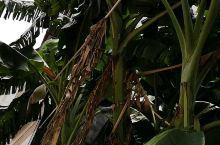 招客的香蕉树!