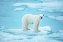去往北极点的途中见到北极之王北极熊。北极熊是现今体型最大的陆上食肉动物之一,成年北极熊直立起来高达2