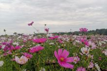 北海子湿地公园,北武当山下的波斯菊花海。