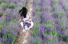 浪漫的薰衣草盛开了,夏天,如果喜欢薰衣草不用去国外,中国就有世界三大薰衣草基地之一,在这随手一拍便是