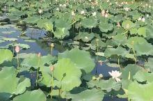 无锡太湖大道,七月下旬盛夏时节,赏荷的最佳时节。湖水荡漾,荷花盛开,白鹭成群。