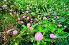 《正是秋花烂漫时》 红的是三角梅 紫的是牵牛花 高的是野菊花 矮的是含羞草 还有狼尾巴草 还有…还有