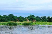这是乌干达一处非常大型的野生国家公园,大家可以乘坐越野车免费参观这里。在这片茂密辽阔的大草原和沼泽地