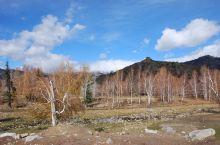 可可托海白桦林位于可可托海景区的大门处附近,是新疆最漂亮的秋季树林风光之一,从大门往景区约2公里内全