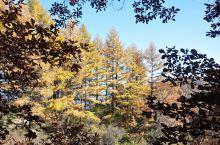金黄的落叶松,头一次见到。