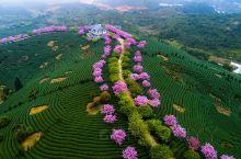 """漳平永福樱花园 位于龙岩市漳平市永福镇,有着""""中国最美樱花圣地""""的美誉。最大的特色15万株品种各异的"""
