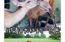 做春日大社的一只鹿,是一件幸福的事,因为每天,它们眼中都有人类最美好的表情——会心的笑容。  春日