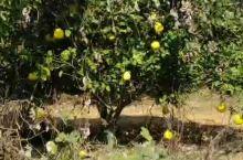 第一次见柚子树 鹰潭·江西