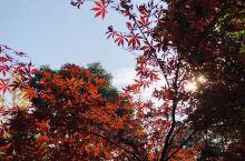 初冬暖阳下的红叶还是非常美的。