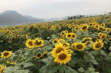 马屿曹村的向日葵,花开的时候好美的,今年国庆节的时候去的。