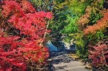 日本的秋天是属于红叶的季节,无论是在城市还是农村,毋需刻意去找寻,一瞥便能见到那一抹艳丽的红色在阳光