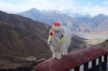 西藏羊湖的小羊羔