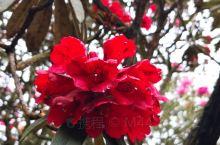 近距离看一下杜鹃花,非常漂亮。