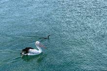 袋鼠岛上的鹈鹕与黑天鹅的小baby和平共处。