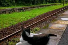 """瞧,这只聪明的""""嘉例川站""""代理""""猫站长"""",我们还没听到列车进站声,可爱的""""猫站长""""就迅速从凉快大树下"""
