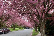 温哥华西区的Heather Street 是西温非常出名的一条晚樱街,每年的4月中下旬(照片拍于4/