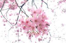 永福樱花茶园值得去。风景不错。樱花很美!