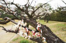 名古屋城里梅园 三保松原看到的富士山 MOA美术馆后花园 热海当地的早樱