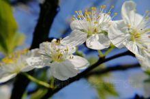 三月,春暖花开,美不胜收啊!佛来山梨花开了,桃花开了,油菜花也开了,远远望去,金灿灿一片,让人身心愉