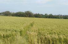 春天到海南看到金黄色地水稻!