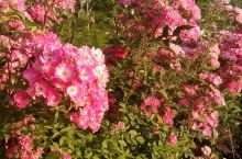 是蔷薇  花吗?