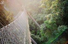 在热带雨林里,最有名的树就是高耸入云的望天树,望天树一般的高度在40米到70米之间,最高的那颗望天树