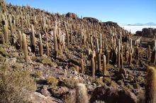 Isla Incahuasi(仙人掌岛)为乌尤尼盐湖最大的岛。岛上的仙人掌一年只能生长1公分,所以那
